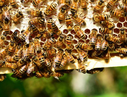 Anketa – pčelarstvo za MPS